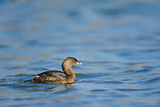 Pied-billed Grebe, Texas