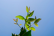 Green Lemon tree leaves on a blue sky background
