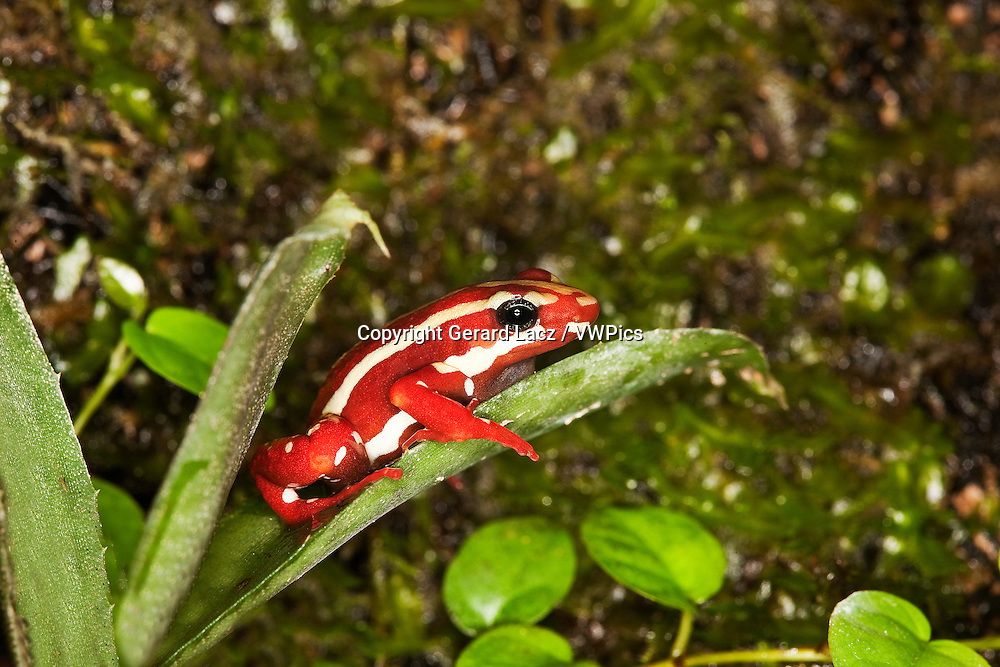 Phantasmal Poison Frog, epipedobates tricolor, Adult standing on Leaf, Venomous Frog from South America