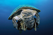 Green Turtles, Chelonia mydas, mating in Juno Beach, FL.