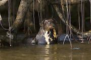 Giant Otter<br /> Pteronura brasiliensis<br /> Pantanal, Brazil