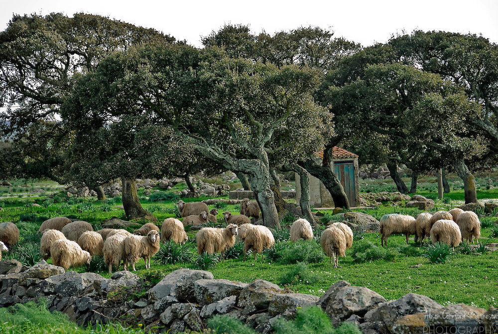 Sheep graze under the cork trees of Sardinia, Italy