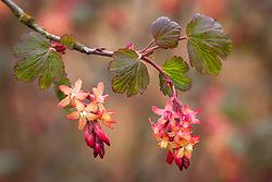 Ribes x gordonianum. Flowering currant