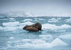 Walrus (Odobenus rosmarus) mother and cub in late September at Kræmerpynten at the eastern tip of Kvitøya in Svalbard, Norway