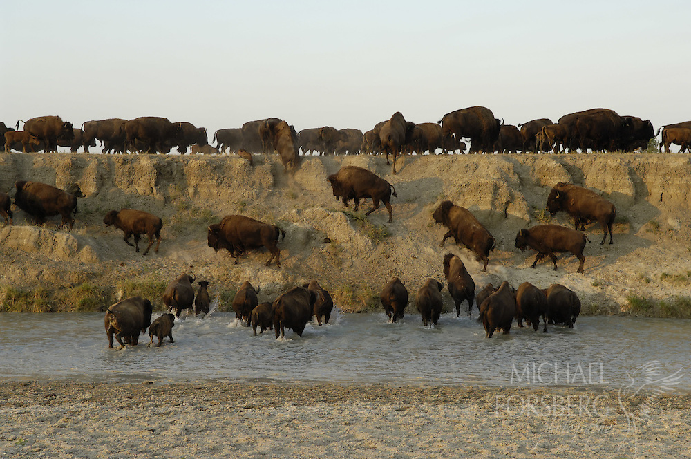 Buffalo Gap National Grassland, South Dakota..Buffalo herd moves through cool waters of Cheyenne River to find grass during extended two week heat wave and drought with temps consistently above 100 degrees F..