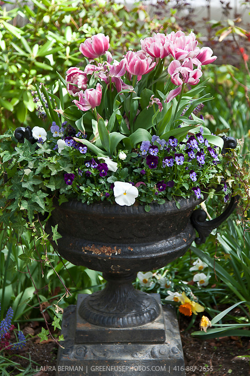 Decorative wrought iron urn planted with pink and white tulips and purple pansies.