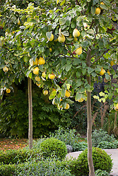 Standard quince trees in autumn. Cydonia oblonga 'Meech's Prolific'