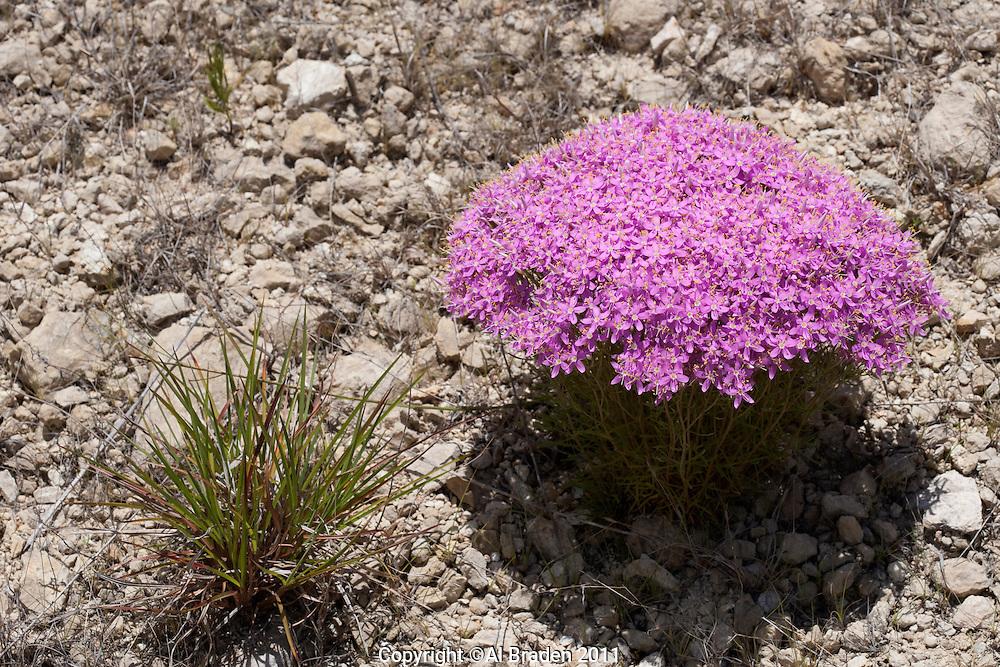 Mountain Pink, (Centaurium beyrichii), Hays County, Texas