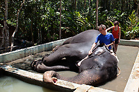 tourist bathing and cleaning with a coconut shell Domestic Elephant in kerala state in india