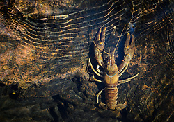 A Golden crayfish travels in Rocky Creek at Klepzig Mill in the Ozark National Scenic Riverways near Eminence Mo. Crayfish are in important species in the Ozarks region. As omnivores and scavengers they eat dead animals or plants helping keep rivers and creek clean. Twenty-six species of crayfish can be found in southern Missouri.<br /> <br /> The Ozark National Scenic Riverways was established in 1964, making it America's first national park area to protect a wild river system. The Ozark National Scenic Riverways is known for its caves, springs, sinkholes and losing streams. Visitors can enjoy water activities, such as floating, canoeing, tubing, swimming and fishing. Additionally there are opportunities for hiking, horseback riding and wildlife viewing. Over 130 miles of waterways and 300 identified caves exist within the park.