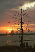 Lone cypress tree along lake shore in Venice, LA.  Copyright 2011 Reid McNally