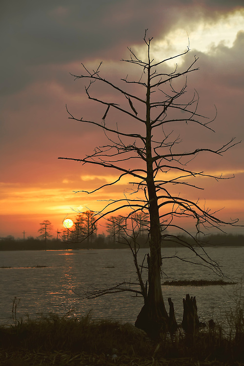 Lone cypress tree along lake shore in Venice, LA.  Copyright 2011 Reid McNally