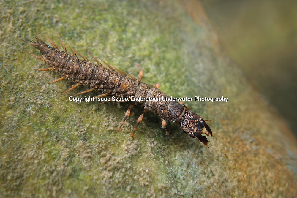Hellgrammite (Dobsonfly Larva)<br />
