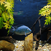 A blue spotted fish in a tank at the National Aquarium in Washington DC. The National Aquarium is in the basement of the Department of Commerce Building, where it has been housed since 1932. Much smaller and less well known than its affiliated facility in Baltimore, Washington's National Aquarium consists of a series of tanks illustrated various types of marine environments, with special emphasis on the many marine sanctuaries in U.S. marine territory.. Please note that at full size scratches are visible on the tank's glass.