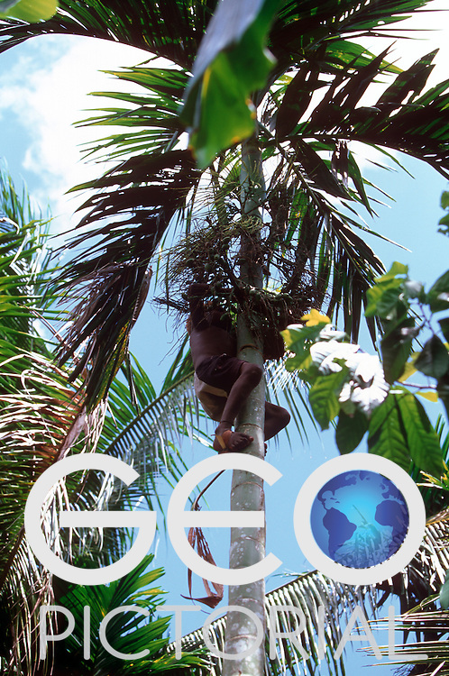 A young boy climbs a betel palm to cut down some betel nuts..Kontu, New Ireland Province, Papua New Guinea;