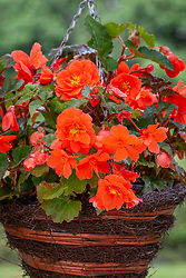 Begonia  'Illumination Salmon Pink'
