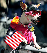 Julieta Johnson's Chihuahua Daisey is ready for a motorcycle ride during the Annual Veterans Day Parade in downtown Atlanta.