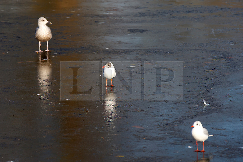 © Licensed to London News Pictures. 20/01/2016. London, UK. Birds and ducks walking on a layer of ice on St James's Park lake in central London after temperatures in the capital dropped as low as -3C on Wednesday, 20 January 2016. Photo credit: Tolga Akmen/LNP