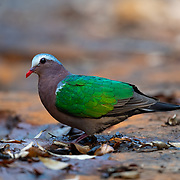 The common emerald dove, Asian emerald dove, or grey-capped emerald dove (Chalcophaps indica) is a pigeon which is a widespread resident breeding bird in Thailand.