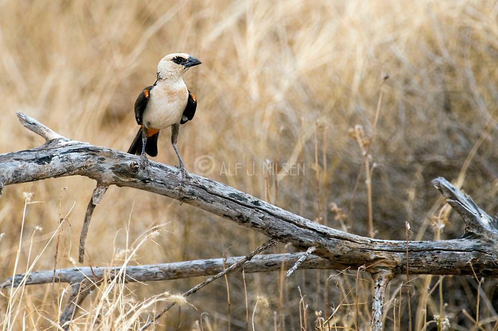 White-headed Buffalo-weaver, Dinemellia dinemelli, from Samburu NP, Kenya.