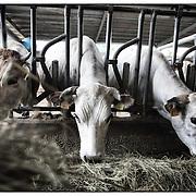 Azienda Agricola Scaglia di Rivoli (TO),  alleva bovini di razza piemontese, suini,  conigli,  avicoli. Lazienda ha il marchio COALVI, e gli animali vengono pertanto allevati nel rispetto di un disciplinare di produzione che prevede limpiego di sole sostanze naturali come il fieno, la crusca e il mais...Farm Scale Rivoli (TO), raises Piedmontese cattle, pigs, rabbits and poultry. The company has the brand COALVI, and animals are therefore raised in respect of a product specification that includes the use of only natural substances such as hay, bran and corn.