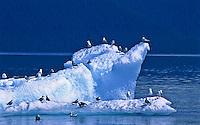 Gulls on a iceberg in Holkham Bay, Southeast Alsaka.