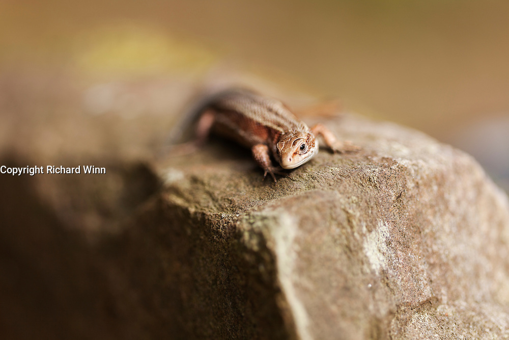 Selective focus view of a female common lizard on a rock.