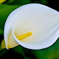 Calla Lily Flower.