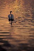 Male Mute swan (Cygnus olor)