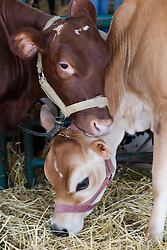 01 August 2014:   McLean County Fair.  Cow barn! (Yoder farms, Danvers, IL)
