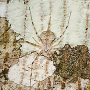 The Hersilia (or Long-spinnered Bark Spiders) are a genus of tree trunk spiders in the Hersiliidae family. They are sometimes known as Two-tailed spiders, due to their greatly enlarged spinnerets.