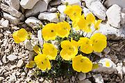 A yellow poppy flower blooms on sunny slopes of the Rosengarten/Catinaccio Group in the Dolomites, Italy, Europe. From Pera di Fassa village (in Pozza di Fassa comune in Val di Fassa), in Trentino-Alto Adige/Südtirol region, Italy, take a bus or lift to visit Rifugio Gardeccia Hutte and hike in the Rosengarten mountain massif (Catinaccio Group) of the Dolomites. UNESCO honored the Dolomites as a natural World Heritage Site in 2009.