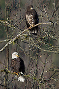 Wintering Bald Eagles sitting on branches, North Fork of Nooksack River, Deming, Washington