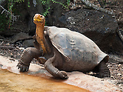 A Galápagos giant tortoise (Chelonoidis nigra, formerly Geochelone elephantopus) drinks water from a pool at the Charles Darwin Research Station (CDRS, operated by the Charles Darwin Foundation) in Puerto Ayora on Santa Cruz Island, Galápagos islands, Ecuador, South America. This species is the largest living tortoise and is native to seven islands of the Galápagos archipelago. Fully grown adults can weigh over 300 kilograms (661 lb) and measure 1.5 meters (5 feet) over the curve of the shell. They are long-lived with a life expectancy of up to 100-150 years in the wild. Populations fell dramatically because of hunting and the introduction of predators and grazers by humans since the 1600s. Only ten subspecies of the original twelve exist in the wild. Since Galápagos National Park and the Charles Darwin Foundation were established, hundreds of captive-bred juveniles have been released back onto their home islands.