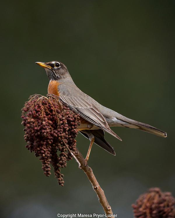 American Robin in Sumac berries, Turdus migratorius, Florida migration