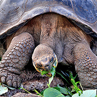 """Galápagos Tortoise Description at Darwin Station in Puerto Ayora, Galápagos, EC <br /> The Galápagos tortoise richly deserves the common adjective of """"giant."""" An average adult of this endemic species – the largest in the world – weighs 400 pounds. Yet size varies by island. The biggest are native to Santa Cruz Island. Males here can measure up to five feet and be nearly 500 pounds. The largest was 6.1 feet and 880 pounds. Their scale-covered legs have to be enormous to carry that much weight. There are five claws on the front legs and four on the back pair. Their carapace (shell) is either saddleback, domed or a variation of the two. Most impressive is their life expectancy. In the wild, they typically live over 100 years. Harriet was the oldest in captivity when she died at 170 years old in Australia Zoo. With that much time, who needs to hurry?"""