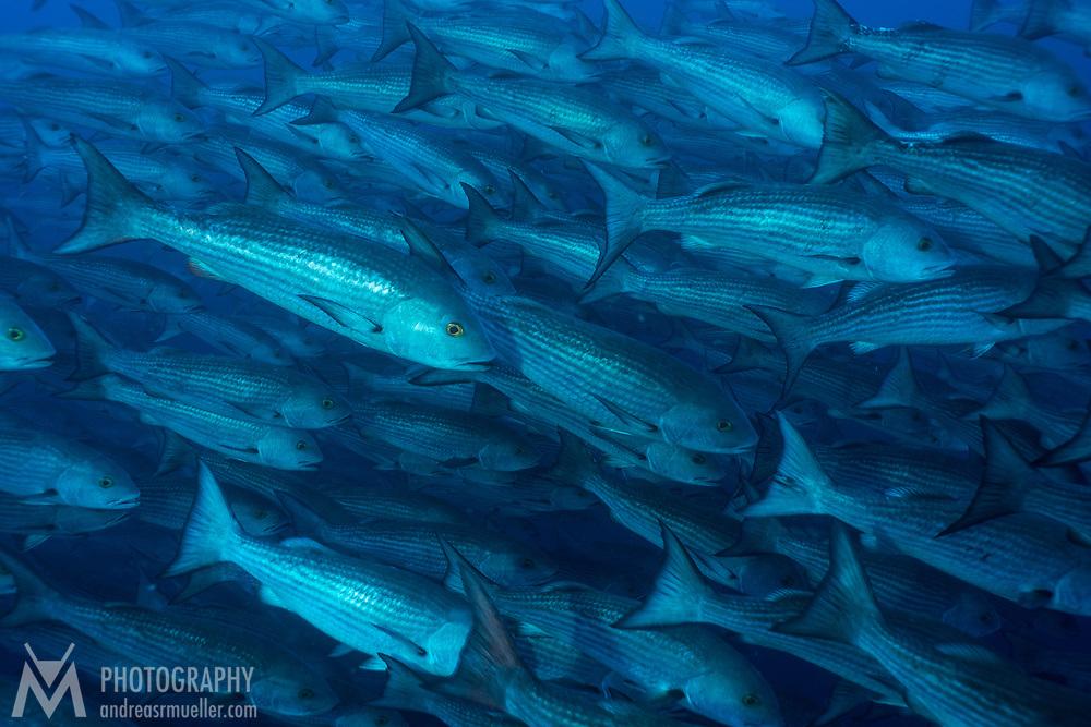 Cocos Island, Dive Spot: Alcyone