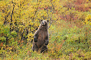 Alaskan Brown Bear  in Denali National Park