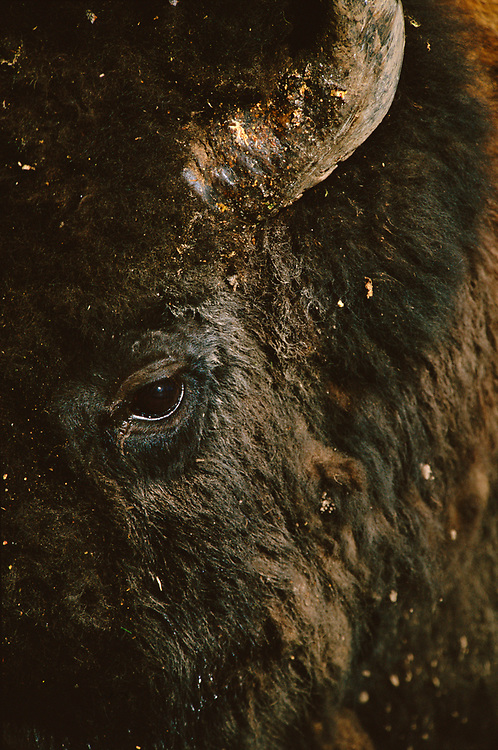 An extreme macro close-up of a male bison along the road at sunrise in Yellowstone.