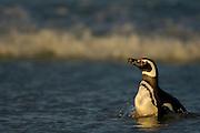 Mit ca. 73 cm Körpergröße gehört der Magellanpinguin (Spheniscus magellanicus) zu den  mittelgroßen Pinguinarten. Er ist an den von vorne gesehen zwei schwarzen Streifen auf der oberen Brust zu erkennen, während der sehr ähnliche Humboldtpinguin nur einen Bruststreifen hat.| With a body size of ca. 73 cm the Magellanic penguin (Spheniscus magellanicus) belongs to the medium sized penguin species. The two black pectoral bands are characteristic and help to distinguish it from the very similar Humboldt penguin, which has only one such band.