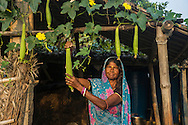 Vegetable farmer Goni Devi, 50, a member of a Farmer's Producer Group, poses for a portrait with her sponge gourd plants at her house in Machahi village, Muzaffarpur, Bihar, India on October 27th, 2016. Non-profit organisation Technoserve works with women vegetable farmers in Muzaffarpur, providing technical support in forward linkage, streamlining their business models and linking them directly to an international market through Electronic Trading Platforms. Photograph by Suzanne Lee for Technoserve