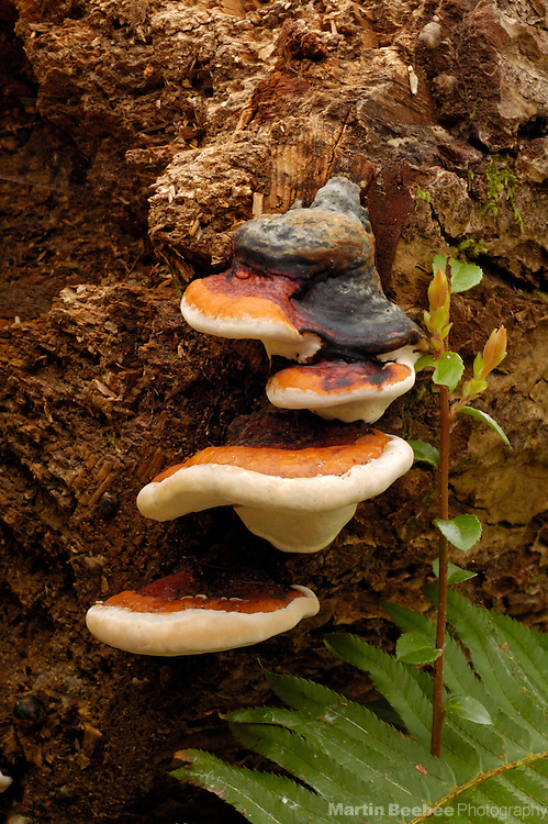 Red-belted conk (Fomitopsis pinicola) growing on rotting log, Jedediah Smith Redwoods State Park, California
