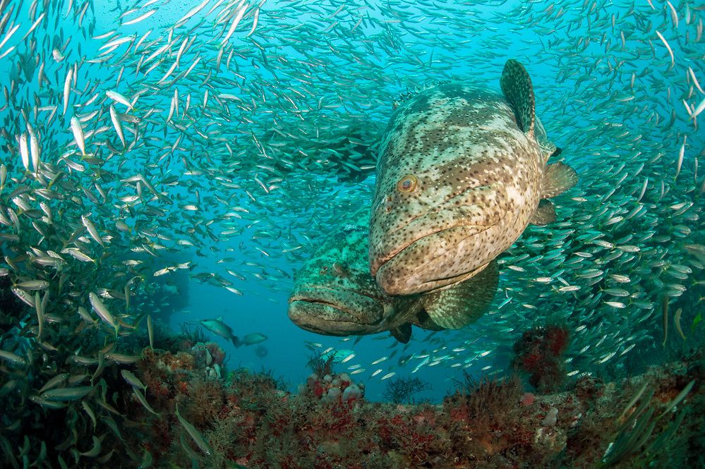 Goliath Grouper, Epinephelus itajara, gather near the Mispah shipwreck offshore Singer Island, Florida, United States, during a spawning aggregation in August 2014. Fish with spawning coloration.