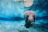 Florida manatee, Trichechus manatus latirostris, a subspecies of the West Indian manatee, endangered. Series of a mature adult male manatee with scars resting and warming himself over a large springhead. An adult male manatee floats with flippers together in perfect buoyancy over a large spring. Tranquil warm blue freshwater and rainbow sun rays enhance the peaceful scene  Horizontal orientation with blue water and rainbow sun rays. Three Sisters Springs, Crystal River National Wildlife Refuge, Kings Bay, Crystal River, Citrus County, Florida USA. License on Getty Images http://www.gettyimages.com/Search/Search.aspx?assettype=image&family=creative&artist=Carol+Grant