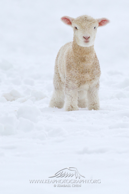 Fleece as white as snow!  Lamb, New Zealand