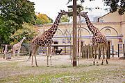Giraffes at the Berlin Zoological Garden, Berlin, Germany