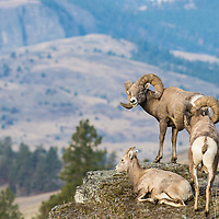 bighorn rams with ewe on rocks western montana