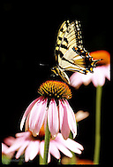 Eastern tiger swallowtail butterfly (Papilio glaucus) feeds on purple coneflower (echinacea) in late summer; St. Louis, Missouri.