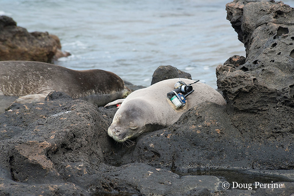Hawaiian monk seals, Monachus schauinslandi, Critically Endangered endemic species, resting on rocks near shoreline; seal on right carries a Crittercam and tracking instrumentation attached to it the day before; west end of Molokai, Hawaii, photo taken under NOAA permit 10137-6, Ho ike a Maka Project