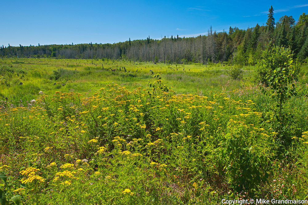 Tansy Tansy (Tanacetum vulgare) on Shangrila Road<br />Near Sioux Narrows<br />Ontario<br />Canada